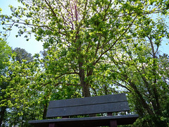 Bench At Northeast Park. (dccradio) Tags: lumberton nc northcarolina robesoncounty park citypark northeastpark penningtonathleticcomplex drraymondbpenningtonathleticcomplex sky bluesky outdoor outside outdoors nature scenic landscape beauty pretty beautiful april saturday afternoon springtime spring greenery foliage natural tree trees branch branches treebranch treebranches treelimb treelimbs bench parkbench
