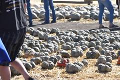 DSC_2543 (earthdog) Tags: 2018 needstags needstitle nikon d5600 nikond5600 18300mmf3563 fall autumn pumpkinpatch spinafarms farm