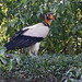 King Vulture, Sarcoramphus papa 199A8330
