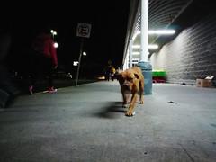 Castrémonos todos y dejemos que los perros dominen el mundo (geosmina_) Tags: stray dog love dogs world human night querétaro aurrerá
