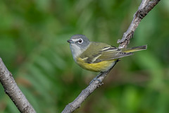 Blue-headed Vireo (Joe Branco) Tags: plant tree macro flower grass vireo birds branco joe ontario canada wildlifephotography nikond850 nikon joebrancophotography blueheadedvireo green