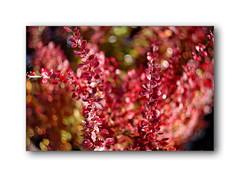 The energy of life...)) (Terra Lyusi) Tags: manualfocus helios77m4 russianlenses helios manual bokeh flora color colorful summer nature impressionism