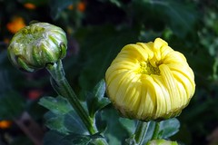 Bud (Gartenzauber) Tags: chrysantheme coth alittlebeauty coth5 fantasticnature thesunshinegroup floralfantasy