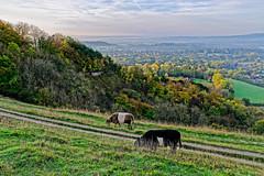 Cows Breakfast (Geoff Henson) Tags: cow livestock cattle animal view viewpoint vista grass tree field hill sky cloud morning daybreak surrey england uk nationaltrust