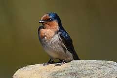 Swallow (bevanwalker) Tags: bird photography post river sun sheen insects eats wildlife d750 nikon tc17e 300mmf28 lens nature outdoor pose moment time newzealand