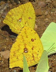 Phoebis neocypris (Birdernaturalist) Tags: bolivia butterfly coliadinae lepidoptera pieridae richhoyer