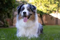 The back yard is open for business! (Jasper's Human) Tags: aussie australianshepherd dog grass green happy