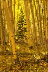 One in a Crowd (RondaKimbrow) Tags: fall2018 autumn tree grove aspen evergreen colorado golden yellow season seasonal coloradophotography coloradolandscape coloradoimages telluride ouray ridgway landscape scenic view rondakimbrowphotography