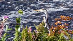 Grey Heron (tonyguest) Tags: grey heron water taxinge näsby sverige sweden tonyguest stockholm sjön lake mälaren