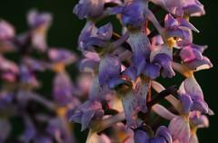 20180528-212F (m-klueber.de) Tags: 20180528212f 20180528 2018 mkbildkatalog skandinavischeflora flora nordeuropa nordisch pflanzenwelt pflanze europäische skandinavische skandinavien scandinavia schweden sweden sverige gotland stora karlsö orchidee orchidaceae orcmasc orchis mascula sstr manns knabenkraut kuckucks mannsknabenkraut kuckucksknabenkraut