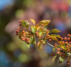 Winter Suppy,s. (Omygodtom) Tags: dof bokeh outside nikkor usgs berry red nature natural nikon70300mmvrlens digital d7100 wild muilycolors