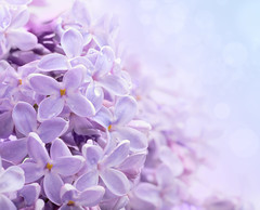 Lilac flowers. Macro. (hoboton) Tags: bud rain card gift love drop blue just lilac macro flora place young color bunch fresh water space bokeh square floral spring flower tender symbol violet season garden gentle detail splash closeup foliage bouquet feelings handsome blooming abstract colorful romantic gradient decoration transition background copyspace celebration sensitivity theearly transparent