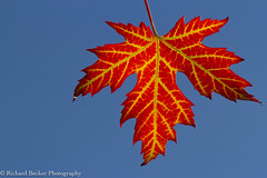 Silver Maple leaf (Richard Becker Photography) Tags: