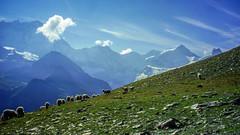 Gregge a Sorebois (giorgiorodano46) Tags: vallese wallis valais anniviers svizzera suisse schweiz switzerland swissalps giorgiorodano sorebois zinal grandecouronne couronnedezinal gregge pecore hiking agosto2000 august 2000 mountain panorama landscape