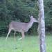 251 Deer