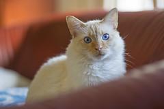 Icy Blue Stare (vtom61) Tags: sonya7r canonfd85mmf18 flamepointsiamese blueeyes