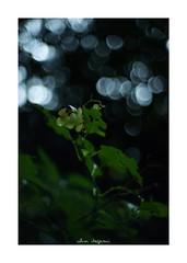 2018/9/2 - 2/15 photo by shin ikegami. - SONY ILCE‑7M2 / Lomography New Jupiter 3+ 1.5/50 L39/M (shin ikegami) Tags: 紫陽花 sky 空 flower 花 井の頭公園 吉祥寺 summer 夏 asia sony ilce7m2 sonyilce7m2 a7ii 50mm 七工匠 7artisans 7artisans50mmf11 tokyo photo photographer 単焦点 iso800 ndfilter light shadow 自然 nature 玉ボケ bokeh depthoffield naturephotography art photography japan earth