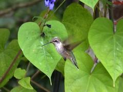 Fred the Hummingbird (Vinny Gragg) Tags: animal animals birds fowl feathers joliet illinois jolietillinois willcounty hummingbird hummingbirds fred leaf leafs plant plants flower flowers