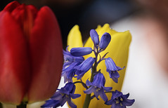 Table arrangement (Ian@NZFlickr) Tags: tulips spring lunch table arrangement outdoors dunedin otago nz