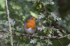 Robin in a Hawthorn tree (johnandco) Tags: robin hawthorn bushes nature reserves leightonmoss