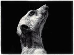 Suricate, Parco Zoom - Torino, Italia. (Livio Saule) Tags: suricati zoo animals bianconero blackandwhite