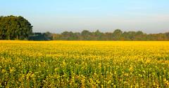 Der Senf blüht in der Nähe von  Cuxhaven (Wolfgang.W. ) Tags: senfblüte cuxhaven senf mustrad blüte landwirtschaft agrar wiese senfpflanze senfacker blooming yellow gelb mustard