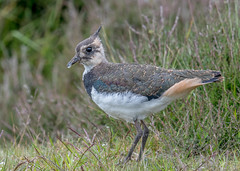 DSC3880  Lapwing... (jefflack Wildlife&Nature) Tags: lapwing lapwings birds avian animal animals wildlife wildbirds wetlands waders waterways shorebirds seashore coastalbirds coastline coast moorland moors marshes marshland countryside yorkshire nature jefflackphotography wildlifephotography