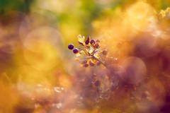 Muza (Ans van de Sluis) Tags: 2018 ansvandesluis nijmegen autumn berries berry bokeh bokehlicious colourful colours dreamy flora floral macro nature sunset muse muza dream