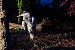 a Heron watching sunset (Franck Zumella) Tags: under tree arbre heron hot chaud beak open bec ouvert nature animal summer été ete bird oiseau isle ile lake lac night nuit red rouge sunset couchant soleil sun light lumiere