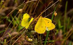 7K8A7584 (rpealit) Tags: scenery wildlife nature weldon brook management area orange sulphur butterfly