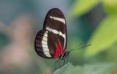 Heliconius hewitsoni (Torok_Bea) Tags: heliconius hewitsoni heliconiushewitsoni butterfly pillangó lepke natur nature nikon sigma sigma105 macro animal beautiful color nikond7200 october autumn