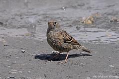 Sordone _004 (Rolando CRINITI) Tags: sordone uccelli uccello birds ornitologia aviofauna rocciamelone natura