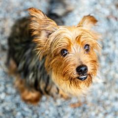 Yoko13Oct201834.jpg (fredstrobel) Tags: dogs pawsatanta atlanta usa animals ga pets places pawsdogs decatur georgia unitedstates us