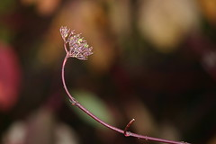 more minimalism (EllaH52) Tags: plant flower autumn minimalism bokeh macro simplicity light shadows