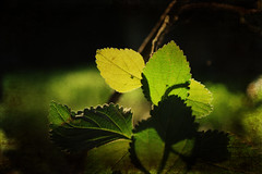 The light (Argyro Poursanidou) Tags: leaf leaves foliage light nature green texturized