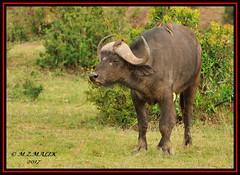 AFRICAN BUFFALO (Syncerus caffer) WITH YELLOW BILLED OXPECKER (Buphagus aficanus)......MASAI MARA.....SEPT 2017. (M Z Malik) Tags: nikon d3x 200400mm14afs kenya africa safari wildlife masaimara exoticafricanwildlife africanbuffalo ngc npc