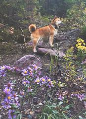 180926 Going-to-the-Sun Road (Fob) Tags: september 2018 glaciernationalpark montana mt travel trip roadtrip goingtothesunroad mango shiba shibainu dog pet 柴犬
