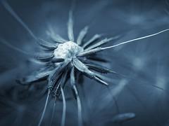 dandelion (zdm69) Tags: zdm69 closeup flower nature outdoor nahaufnahme macro makro olympus omd em1