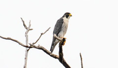 7K8A8266 (rpealit) Tags: scenery wildlife nature state line lookout peregrine falcon bird