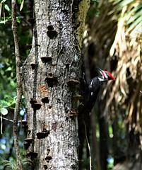 Wood Pecker (wadehampton23) Tags: bird park florida woodpecker wild