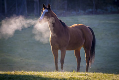 Horse Breath (Paul Rioux) Tags: nature creature animal horse livestock morning outdoor farm rural country breath prioux