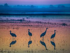 Colors before sunrise - Sandhill cranes (FollowingNature (Yao Liu)) Tags: california followingnature reflection colorful sunrise lodi sandhillcranes colors