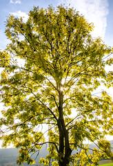 Esche (Deutscher Wetterdienst (DWD)) Tags: jahreszeiten seasons herbst autumn laubverfärbung autumncoloring laubwald deciduousforest licht light goldeneroktober goldenautumn
