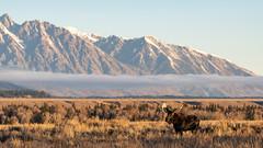 Teton Moose ((JAndersen)) Tags: moose bullmoose grandteton nationalpark nature wildlife animals nikon nikkor20005000mmf56 d810 mountains wyoming usa