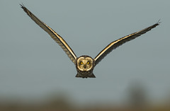 Short-eared owl - Eye to Eye (Ann and Chris) Tags: avian amazing awesome adorable bird beak beautiful close cute eyes feathers flying gorgeous gliding yellow hunting hunt impressive incoming looking majestic owl stunning shortearedowl unusual unbelievable vivid wildlife wild wings