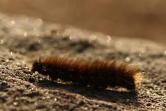 Fox Moth Caterpillar (Derbyshire Harrier) Tags: caterpillar 2018 gritstone bigmoor easternmoors peakdistrict peakpark derbyshire bokeh autumn october macrothylaciarubi backlit backlighting barbrook rspb nationaltrust moorland foxmothcaterpillar hairy