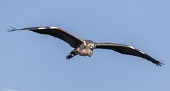 Grey Heron... Incoming (Steve (Hooky) Waddingham) Tags: animal countryside bird british nature flight fishing wild wildlife