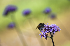 Image d'été (Lucille-bs) Tags: europe france iledefrance yvelines levésinet lesibis macro nature bourdon bokeh fleur été