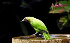 DSCN4767 Jerdon's Leafbird-Male IChloropsis jerdoni) (vlupadya) Tags: greatnature animal aes fauna indianbirds jerdons leafbird chloropsis kundapura karnataka