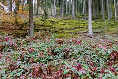 Roncière (CORMA) Tags: grandduchédeluxembourg parcnaturelhautesûre europe europa 2018 automne autunno autumn ronce bois sousbois forest bosco blackberry